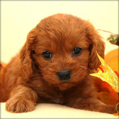 Cavapoo Puppies on Cavapoo Puppy Ready For A New Family    Dogs For Sale  Puppies