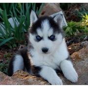 Gorgeous and adorable Siberian Husky puppies for sale