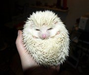 African pygmy hedgehog and starter kit