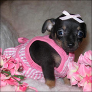 teacup chihuahua for sale